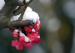 18 0338 - Torcy, fleurs et neige, pommier du Japon (Jean-Pierre Ossorio) Tags: fleur neige arbuste gel hiver