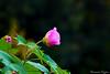 Hibiscus caprice de femme Hibiscus mutabilis (1) (Ezzo33) Tags: france gironde nouvelleaquitaine bordeaux ezzo33 nammour ezzat sony rx10m3 parc jardin fleur fleurs flower flowers hibiscus caprice femme mutabilis