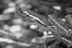 thaw in monochrome (EllaH52) Tags: winter snow ice droplets spruce branch twigs