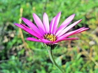Daisy   (Cape Daisy)  African Daisy