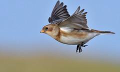Snow Bunting (KHR Images) Tags: snowbunting plectrophenaxnivalis salthouse norfolk coast wild bird flying flight wildlife nature winter migrant nikon d500 kevinrobson khrimages