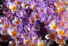 Crocus festival, end of season (jackfre 2) Tags: belgium kalmthout arboretum domain park flowers crocus crocuses
