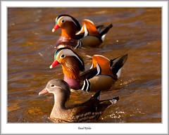 Three Mandarin In A Row (flatfoot471) Tags: 2017 balloch bird duck mandarin march nature normal riverleven rural scotland spring unitedkingdom westdunbartonshire gbr