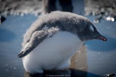 Gentoo-Chick (A. Gosewehr) Tags: antarktis antarctica gentoopenguin chick down eselspinguin küken fusbad mudpuddle