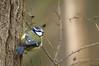 Sur un arbre perché (Phil du Valois) Tags: mésange bleue cyanistes caeruleus eurasian blue tit herrerillo común chapimazul blaumeise kék cinege pimpelmees cinciarella europea blåmes blåmeis sýkorka belasá sýkora modřinka blåmejse sinitiainen mallerenga blava eurasiàtica blámeisa modraszka zwyczajna zilzīlīte plavček лазоревка アオガラ 青山雀 歐亞藍山雀