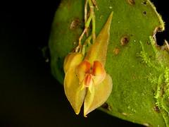 Lepanthes helicocephala (Eerika Schulz) Tags: lepanthes helicocephala orchidee orchideen orchid orchids puyo ecuador jardin botanico las orquideas eerika schulz