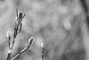 snow cold (ladybugdiscovery) Tags: snow cold winter bw monochrome bokeh