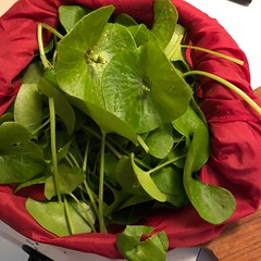 A Mess of Miner's Lettuce. (Melinda Stuart) Tags: ca perfoliata foraged food greens mess meal salad vitaminc healthy claytonia wild american spring found collected supper
