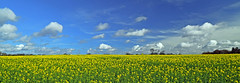 Oilseed Rape fields, Norfolk, explored, thank you for over 9,500 views (natworld50 thanks for + 1.6 million views) Tags: