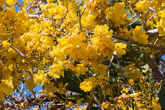 IMG_9906 (jaglazier) Tags: 2018 31518 deciduoustrees florida march marieselbybotanicalgardens museums sarasota trees usa copyright2018jamesaglazier floweringtrees gardens yellow