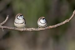 Double-barred Finch (Taeniopygia bichenovii) (Ian Colley Photography) Tags: doublebarredfinch taeniopygiabichenovii bingara bird canoneos7dmarkii ef500mmf4lisusm