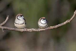 Double-barred Finch (Taeniopygia bichenovii)