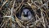 _SG_2018_01_0004_IMG_2856 (_SG_) Tags: frühling spring grün green sparrow spatz spurv spadgers spuggies natur nature outside