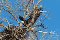 Female Bald Eagle returns to the nest - 24 of 29