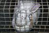 Aufgedeckt: Tierquälerei in Kaninchenmastbetrieben (tierretter.de) Tags: tierqual tierquälerei tierleid tier tiere tierschutz tierrecht tierrechte tierwohl nutztierhaltung intensivtierhaltung artgerecht industrie tierindustrie tierfarbrik tiernutzung tierausbeutung ausbeutung massentierhaltung kaninchenmast kaninchenbetrieb rammler hasen hasenmast