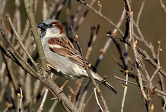 McDonald's french fry bird (mpalmer934) Tags: bird house sparrow lilac twigs branches buds