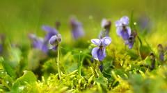 Fraîche (La Barboulotte) Tags: bokeh flower vintage helios manual m42 lovely pearl violette