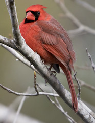 cardinal bird (watts_photos) Tags: cardinal bird birds male red black tree