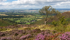 Looking down on the county of Shropshire (Ramireziblog) Tags: county shropshire landscape landschap tree boom heide heather purple hill stiperstones england clouds