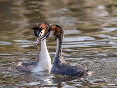 Zuneigung (wernerlohmanns) Tags: wildlife wasservögel natur outdoor nikond7200 naturpark schärfentiefe deutschland sigma150600c nabu nsg nette entenvögel haubentaucher