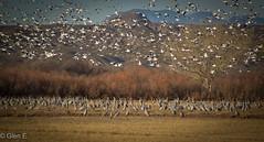 Bosque del Apache (nebulous 1) Tags: sandhillcrane snowgoose snowgeese bird fauna newmexico bosquedelapache nikon nebulous1 glene mountains trees nobushes usa us unitedstates