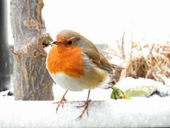 Winter's back! (macfudge1UK) Tags: ©allrightsreserved 2018 avian bbcspringwatch bird britain britishbird britishbirds coolpix coolpixp610 england erithacusrubecula fauna gb greatbritain nature nikon nikoncoolpixp610 oxfordshire oxon p610 perch perching robin rspbgreenstatus snow spring uk wildlife