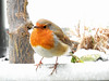 Winter's back! (macfudge1UK) Tags: ©allrightsreserved 2018 avian bbcspringwatch bird britain britishbird britishbirds coolpix coolpixp610 england erithacusrubecula fauna gb greatbritain nature nikon nikoncoolpixp610 oxfordshire oxon p610 perch perching robin rspbgreenstatus snow spring uk wildlife