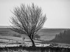 Leaning Tree (stevedewey2000) Tags: devon dartmoor trees tree landscape treescape blackandwhite bw desaturated monochrome landscapes minolta100200f45 wall