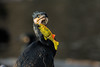 Aalscholver_01 (Nick Dijkstra) Tags: aalscholver cormorant halacrocorax carbo artis