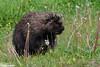 A mellow porcupine (Claudine Lamothe) Tags: animals forillonnationalpark gaspésie northamericanporcupine places quebec rodentia
