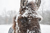 Snow Crusted Mule (AndrewCline) Tags: snow storm mule animal cold winter livestock farm field newengland newhampshire freezing face eye ear head blanket brrrr agriculture rustic rural