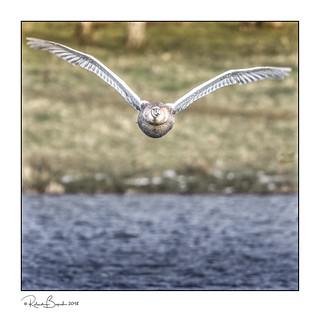 Flying full frontal - Juvenile Mute Swan [Explored]