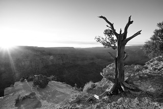 The Old Tree - Grand Canyon