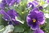 P3080145 (Vagamundos / Carlos Olmo) Tags: dallas usa eeuu vagamundos vagamundos2018 texas tejas flower flores jardín garden arboretum botanical botanicalgarden jardínbotánico