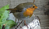 Robin assisting with compost turning (keithhull) Tags: robin bird ourgarden hull he