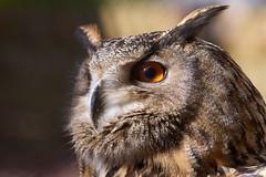 GoldenEye (rondoudou87) Tags: grandduc eye oeil pentax k1 close closer portrait rapace parc park parcdureynou zoo reynou nature natur bec hibou gold owl goldeneye bird oiseau plume feather