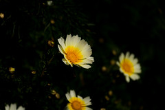 if in doubt, love.. (ckollias) Tags: bokehlicious daisies daisy beautyinnature blooming bokeh bokehbackground bokehphotography closeup day flower flowerhead fragility freshness growth nature nopeople outdoors petal plant yellow