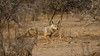Black-backed Jackal - Canis mesomelas (jaytee27) Tags: blackbackedjackal ethiopia canismesomelas naturethroughthelens