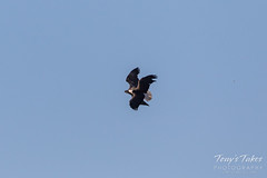 Bald Eagle theft attempt 2 - 5 of 7