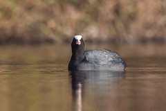 I see you when you sleep! (daveashaw) Tags: coot animals birds water lake stourhead blur angry nature wildlife
