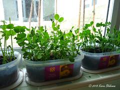 March 7th, 2018 Pea shoots (karenblakeman) Tags: cavershamgarden caversham uk peashoots vegetables food 2018 2018pad march reading berkshire