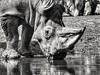 2018-03-09_08-04-31 (arjan.jongkees) Tags: beautyofthebeast smileonsaturday rhino drinking blackwhite bw contrast zoom telephoto olympus omdem1 arjanjongkees zoo dayout arnhem african horn