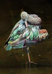 Glossy Ibis 003 (DMT@YLOR) Tags: ibis glossyibis queenspark ipswich queensland australia water multicolour green preen