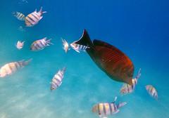 Desjardin's Sailfin Tang (Chalto!) Tags: africa braykabay egypt marsaalam northafrica redsea fish desjardinssailfintang sailfintand tang surgeonfish coralreef reef coral snorkel snorkeling snorkelling swimming underwater