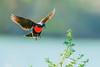 Un lindo pecho colorado llegando a una rama (Jose Lozada Naturaleza (Argentina)) Tags: pecho colorado ciordba argentina bird rojo ave vuelo flight wild