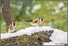 _DSC0030_Chardonneret élégant (patounet53) Tags: cardueliscarduelis chardonneretélégant europeangoldfinch fringillidés passériformes bird oiseau