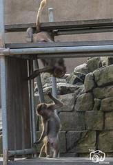wildlands-emmen-30 (voorhammr) Tags: 2018 juul robin apen emmen giraffen ijsberen neushoorn nijlpaard pinquins prairiehonden vlinders wildlands zeeleeuwen zoo drenthe nederland nl
