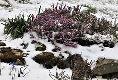 The garden: one dwarf iris, moss, heather and snow (ronmcbride66) Tags: garden thegarden iris dwarfiris snow heather moss border nature daffodils spring flowers winterheather drystonewall wall gardenborder