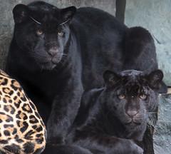 jaguar artis BB2A2422 (j.a.kok) Tags: jaguar pantheraonca kat cat rica neron mammal artis animal zuidamerika southamerica zoogdier dier jaguarcub jaguarwelp zwartejaguar blackjaguar