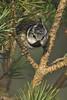 Crested Tit (JaneTurner68) Tags: crestedtit tit bird abernethyforest lochgarten scottishhighlands scotland canon1dmkiv canon100400mmmkiilens canon
